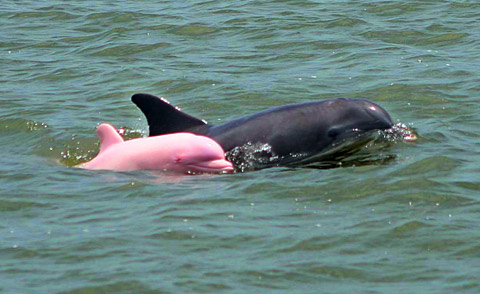 delfin pink roze boje petface