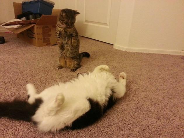 kako da zbunite svoju mačku petface