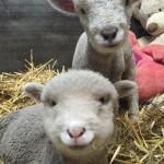 ZAGRLJAJ KOJI LEČI: mladunci koji su ostali bez majki, utehu našli u plišanim životinjama