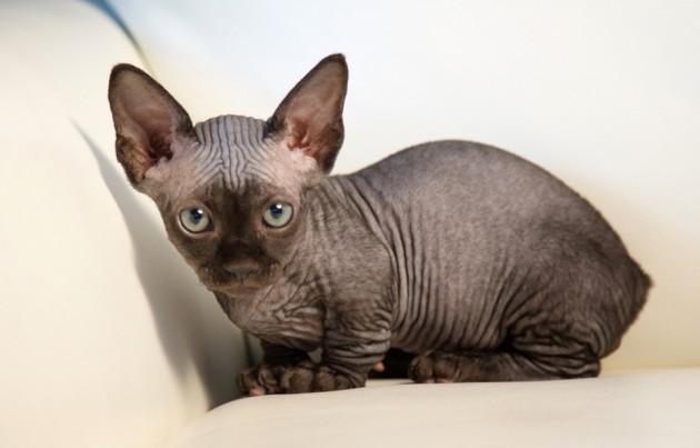 nove rase mačaka petface