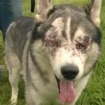 TUŽNO: Makari je sada slepi pas, zahvaljujući svojim vlasnicima