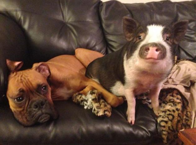 svinja koja misli da je pas petface