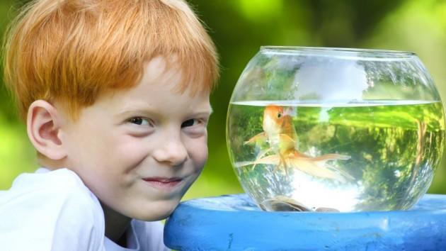 zlatne ribice petface