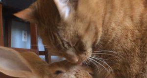 Ljubav između mačke i džinovskog kunića petaface
