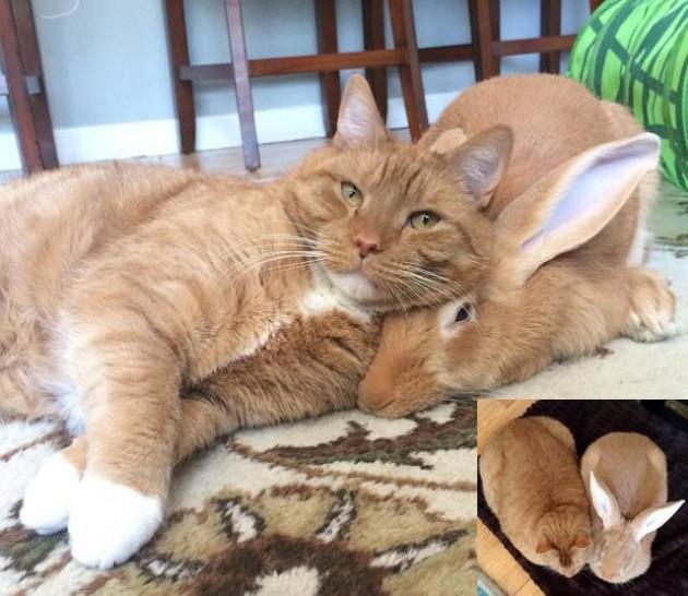 Ljubav između mačke i kunića petface
