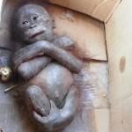 Krivicom lovokradica, beba orangutana je živa sahranjena! (VIDEO)