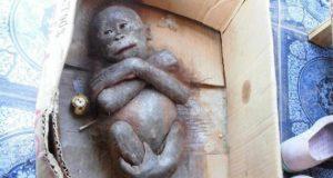 Beba orangutana petface