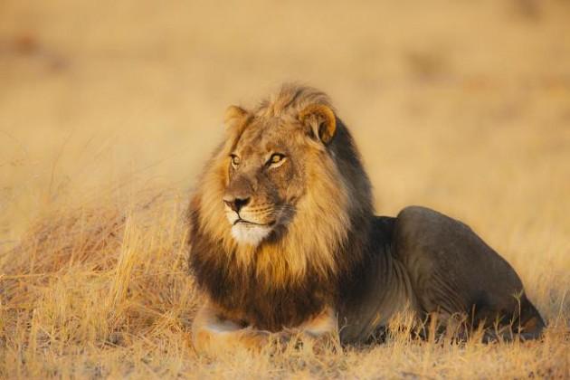 Kralj džungle petface