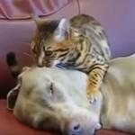 Mačka masira psa? O da, moguće je! (VIDEO)