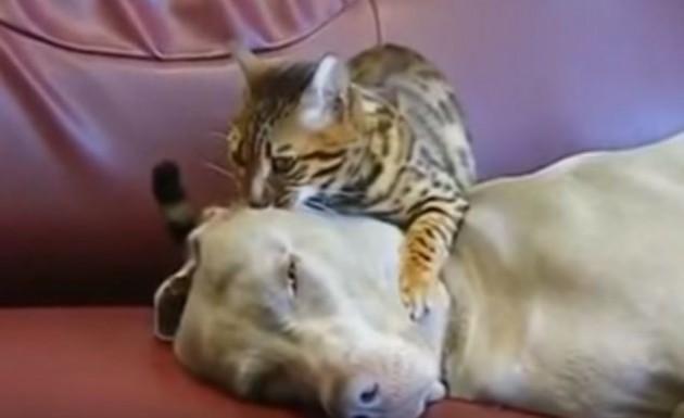 Mačka masira psa petface