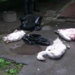 NOVI SAD: Tužni krici labuda Ise, koji je ostao bez cele porodice, odzvanjaju parkom!