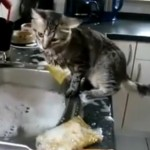 ISPOMOĆ: Ova mačka je prava vrednica u kuhinji (VIDEO)