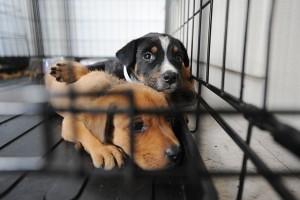 mesec udomljavanja napuštenih pasa petface