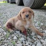 NOVI SLUČAJ NASILJA: Dvomesečnom štenetu u Malom Zvorniku odsečene šape!