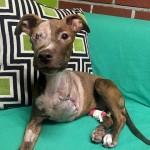 MALI HEROJ: pas koji je ostao bez noge i oka uspešno se oporavlja