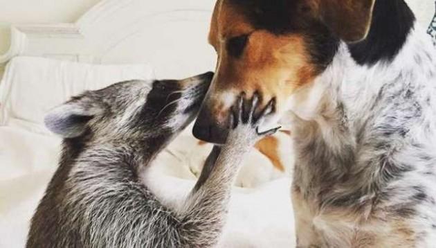 rakun živi u kući sa dva psa petface