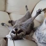 PREDIVNO:  rakun živi u kući sa dva psa i misli da je jedan od njih