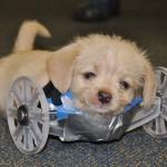 DIRLJIVO: Štene koje ima dve noge, dobilo je svoja 3D kolica