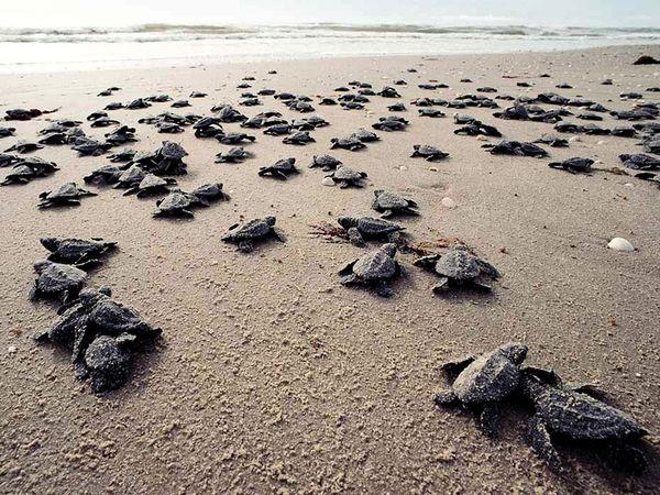 Morske kornjače petface