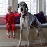 NIJE FOTOMONTAŽA: 20 fotografija gigantskih pasa svojom pojavom ostavljaju bez daha