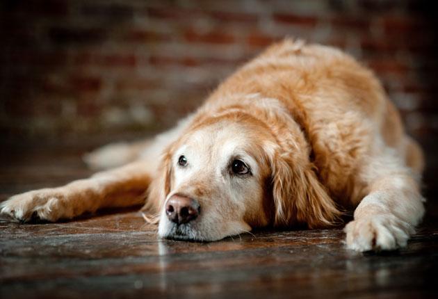 mesec udomljavanja starijih pasa petface