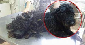 pas u tranformaciji petface