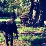 HRVATSKA: 12 godina Benito je bio vezan za drvo! Sada je spasen i traži dom!