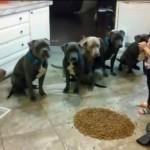"""Ima samo 4 godine a pravi je """"šaptač psima"""". Ovako je sluša njenih 6 pit bulova! (VIDEO)"""
