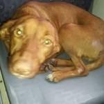 Maja traži psa, Ružu, koju viđaju u GSP-u! POMOZITE!