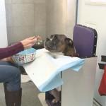 FOTO: Bolesni bokser Miki dobio je specijalnu stolicu za hranjenje!