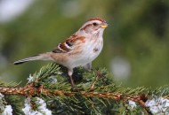 legenda o ptičici, Božiću i božićnom drvetu petface