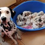 NOVI DOKAZI: Mame psi ne zaboravljaju svoje štence ni kad ih napuste!