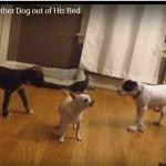 ZAKON JAČEG: Dva šteneta su vrlo drsko isterala psa iz njegovog kreveta! (VIDEO)