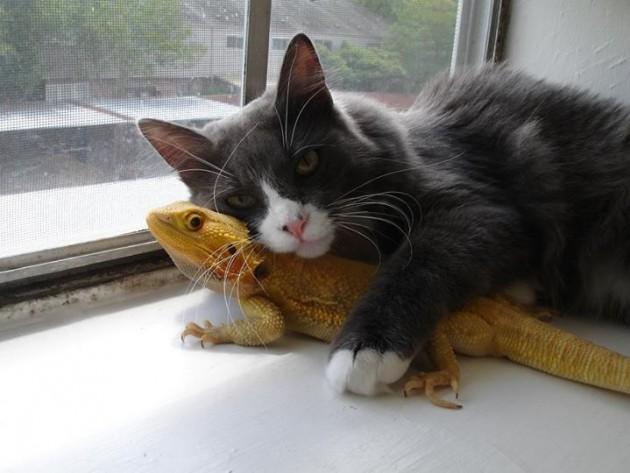 mačka i gušter petface