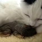 DIVNOOOO: mačka je spasila dve bebe veverice (VIDEO)