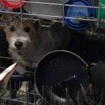 UZBUNA: Za ovim psom su tragali, a on je pronađen u mašini za sudove