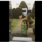 KAKVE VREDNICE: Psi pomažu vlasnici, tako što joj unose kese iz prodavnice u kuću! (VIDEO)