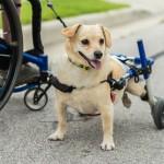 NOVI POČETAK: Jednog psa i jednog čoveka spojila su invalidska kolica! (VIDEO)
