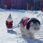 AVANTURISTA DO SRŽI: Gandolf, sibirski mačak obožava putovanja i druženja sa novim ljudima!