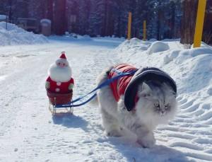 sibirski mačak petface