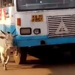 NE ZABORAVLJA: Krava svakog dana, godinama, zaustavlja autobus koji joj je ubio tele!