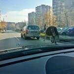 KRIVIČNA PRIJAVA za čoveka iz Kruševca koji je vezao konja za kola koja su u pokretu!