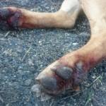 KNJAŽEVAC: Tijana spasila psa koga su vezanog za zaprežna kola vukli po gradu!