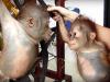 dve bebe orangutana petface