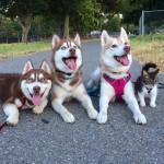 3 haskija i mačka petface