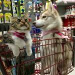3 haskija i mačka petface3 haskija i mačka petface