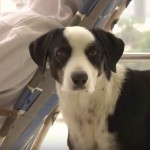 Pas Pirata je novi Hačiko: svakog dana se vraća u bolnicu u kojoj je njegov vlasnik preminuo!