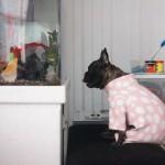 NEOBIČAN PAS: Bokserka Sofi sate i sate provodi gledajući u akvarijum, odevena u roze ogrtač!
