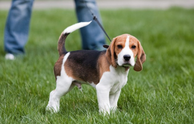 šetnja štenaca petface