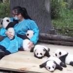 POSAO IZ SNOVA: U Kini vas plaćaju da grlite pande!
